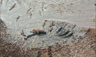 Неймовірна сцена: легіон крокодилів проти стада бегемотів