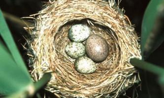 Неймовірне про те, як зозуля підкидає свої яйця
