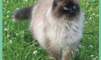 Невскаямаскарадная кішка.