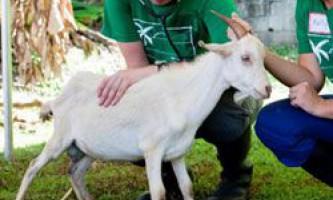 Незаразні і заразливі хвороби кіз і козенят, симптоми і лікування