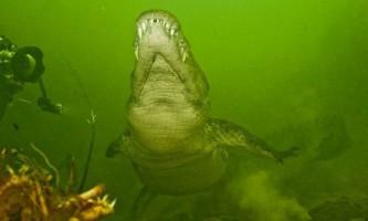 Нільські крокодили з річки окаванго