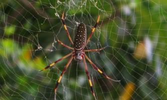 Нитка золотого павука-кругопряда міцніше кевлара