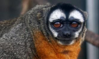 Нічні мавпи: фото і відео екзотичних тварин