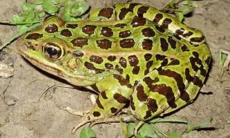 Ноги жаб ставлять легкоатлетичні рекорди