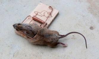 Нормальні дози цукру вбивають миша