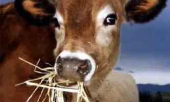 Норми і раціон харчування корів при годуванні в домашніх умовах
