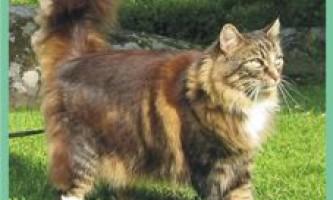 Норвежскаялесная кішка