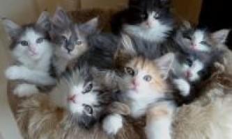 Норвезькі лісові кошенята