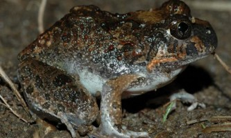 Носатий шлунко-виводкова жаба - турботлива жаба