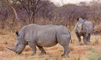 Носороги: цікаві факти про дивних тварин