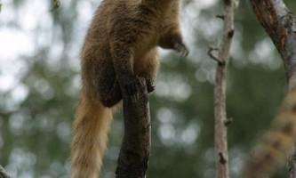 Носухи, або коати (лат. Nasua)