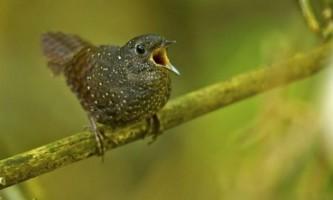 Нове сімейство співочих птахів виявлено в азії