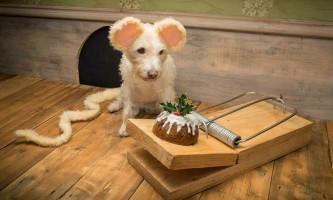 Новорічна фотосесія пса на прізвисько раггл