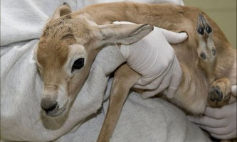 Новонароджене дитинча сахарской газелі