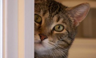 Новосибірський кіт тиша став причиною виклику омону