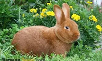 Новозеландський кролик - найкращий вибір заводчика