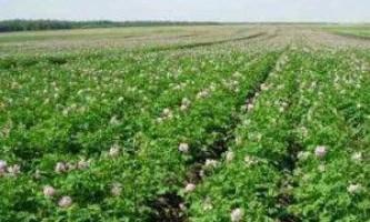 Нові способи вирощування картоплі