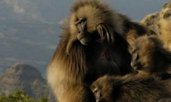 Новий крок до розуміння мови мавп