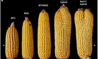 Новий сорт кукурудзи допоможе вирішити проблему голодуючих