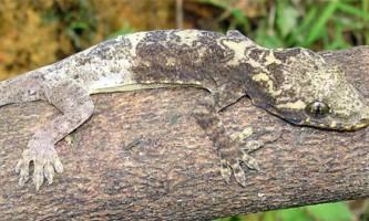 Новий вид геконів знайдений у в`єтнамі