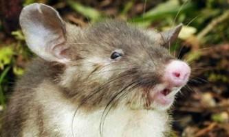 Новий вид щурів зі свинячим п`ятачком відкритий в індонезії