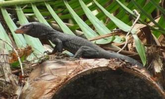 Новий вид варанів виявлений в індонезії