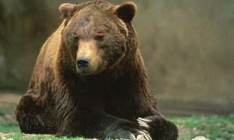 Про бурих ведмедів