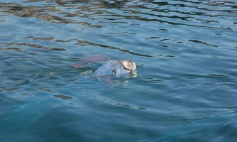 Oarfish (regalecus glesne) - риба весло