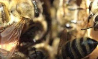 Об`єднання бджолиних сімей відео