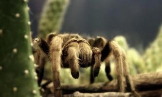 Знеболююче запропонували робити з отрути перуанського тарантула