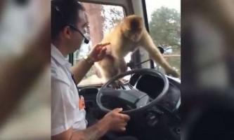 Мавпа на ходу вкрала їжу у водія автобуса