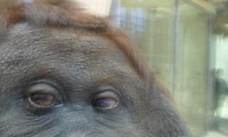 Мавпа ноні стала одним з найпопулярніших фотографів-любителів в мережі