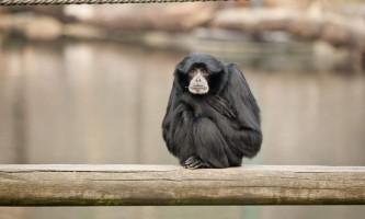 Мавпа сіаманг