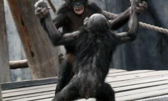 Мавпам знайоме почуття ритму