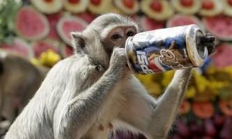 Мавпячий банкет в тайланді