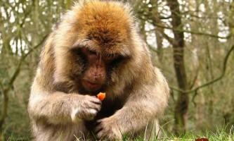Мавпи здатні регулювати обмін речовин в умовах голоду