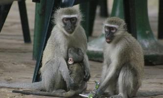 Мавпи вчаться, копіюючи дії один одного