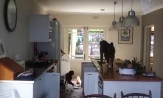 Мавпи влаштували в будинку погром