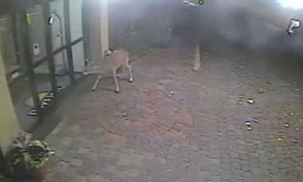 Знавіснілий олень атакував готель в пенсільванії