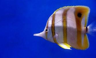 Мешканці коралових рифів подорожують за допомогою океанічних течій