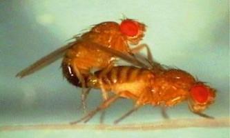 Пояснено призначення ускладненого пеніса мух дрозофіл
