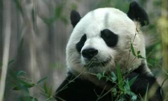Пояснено виживання панд на бамбуковій дієті