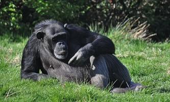 Чи володіють мавпи особистісними якостями?