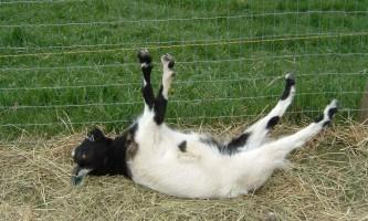 Непритомні кози: американки «зі слабкими нервами»