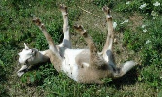 Непритомні кози (fainting goat)