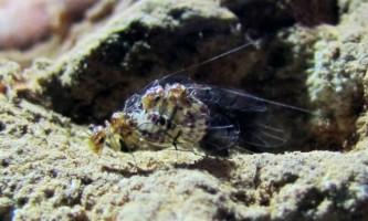 Виявлено комахи, самки яких мають пенісами