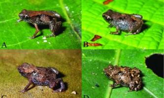 Виявлено найменші в світі жаби