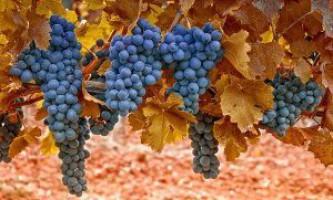 Обрізаємо виноград восени