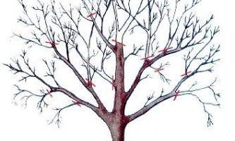 Обрізка яблунь плодоносних і старих (омолодження)