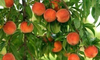 Обрізка персика - кропітка і обов`язковий процес
